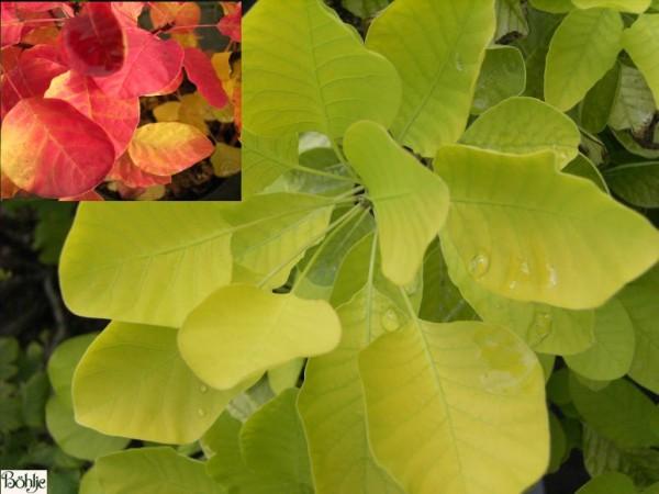 Cotinus coggygria 'Golden Spirit' ® -gelblaubiger Perückenstrauch-