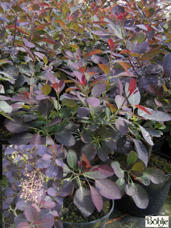 Cotinus coggygria 'Royal Purple' -roter Perückenstrauch-