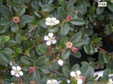 Cotoneaster x suecicus 'Coral Beauty'  -Zwergmispel-