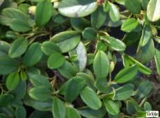 Cotoneaster dammeri var. radicans -Teppichmispel-