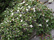 Cotoneaster procumbens 'Streib's Findling' (microphyllus)  -Kriechmispel-