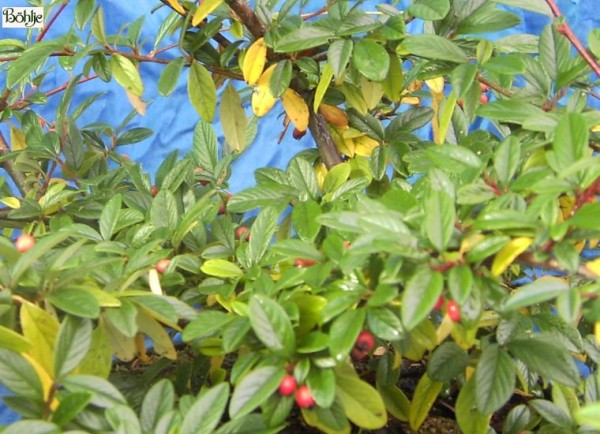 Cotoneaster salicifolius 'Parkteppich'