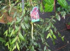 Cotoneaster salicifolius var. floccosus -weidenblättrige Felsenmispel-