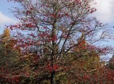 Crataegus prunifolia 'Splendens' -Weißdorn-