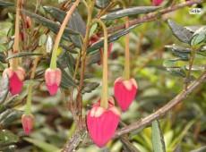 Crinodendron hookerianum  -Laternenbaum-