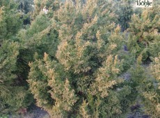 Cryptomeria japonica 'Bandai' -Sicheltanne-