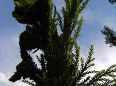 Cryptomeria japonica 'Cristata' -Hahnenkammsicheltanne-
