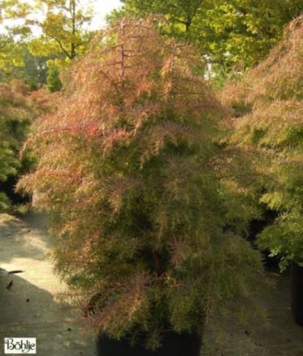 Cryptomeria japonica 'Elegans' -japanische Sicheltanne-