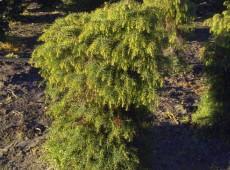 Cryptomeria japonica 'Elegans Viridis' -Sicheltanne-