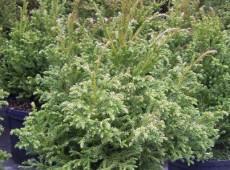 Cryptomeria japonica 'Jindai' -Sicheltanne-