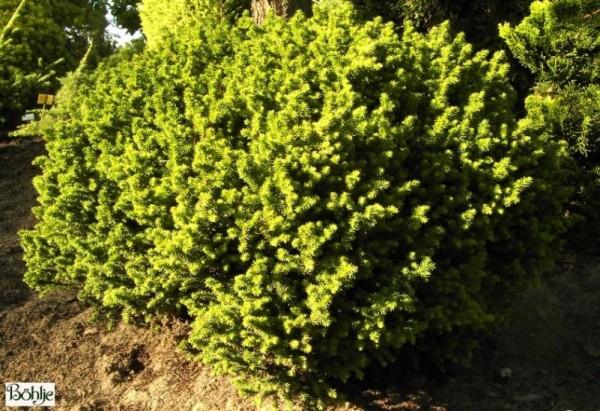 Cryptomeria japonica 'Vilmoriniana' -Sicheltanne-