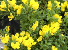 Cytisus decumbens -Kissenginster-