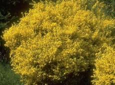 Cytisus praecox  'Allgold' -Elfenbeinginster-