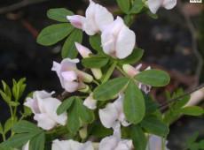 Cytisus purpureus -Purpurginster-