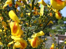 Cytisus scoparius 'Firefly' -Besenginster-
