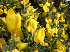 Cytisus scoparius 'Golden Sunlight' -Besenginster-