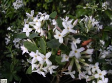 Daphne burkwoodii 'Somerset' -Maienseidelbast-