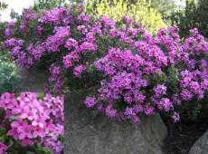 Daphne cneorum -Rosmarinseidelbast-