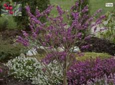 Daphne mezereum 'Rubra Select' -roter Seidelbast-