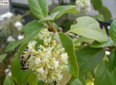 Decumaria barbara -Sternhortensie-