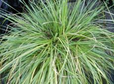 Deschampsia cespitosa 'Goldschleier' -Goldschleier / Waldschmiele-
