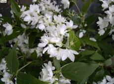 Deutzia gracilis -Maiblumenstrauch-