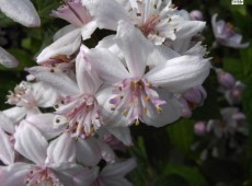 Deutzia hybrida 'Mont Rose' -Rosendeutzie-