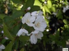 Deutzia kalmiiflora -Kalmiendeutzie-