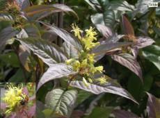 Diervilla lonicera -Buschgeißblatt-