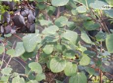 Disanthus cercidifolius -Doppelblüte-