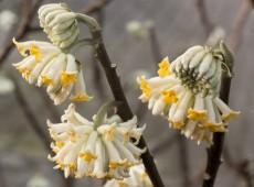Edgeworthia chrysantha -orientalischer Papierbusch-