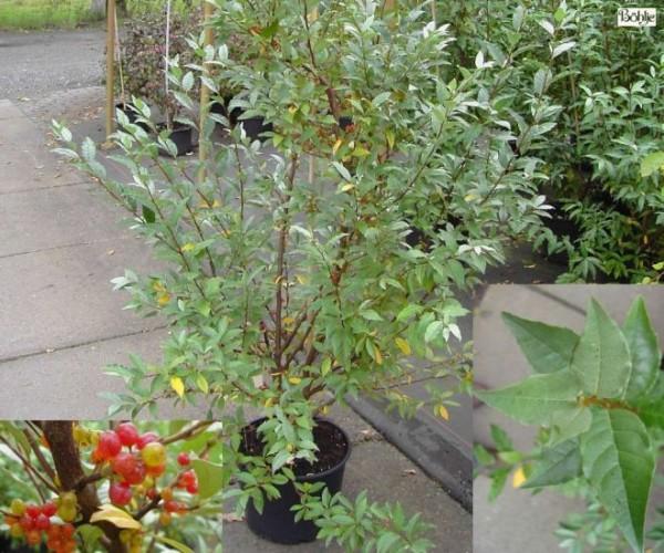 Elaeagnus multiflora -essbare Ölweide-