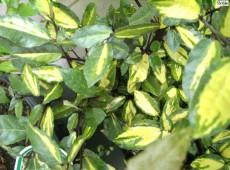 Elaeagnus pungens 'Maculata' -buntlaubige Ölweide-