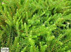 Empetrum nigrum 'Smaragd'