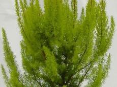 Erica arborea 'Albert's Gold' -Baumheide-