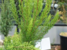 Erica arborea 'Alpina'  -Baumheide-
