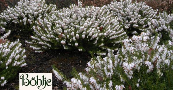 Erica carnea 'Schneekuppe' -Schneeheide-