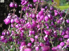 Erica cinerea 'Velvet Night' -Grauheide-