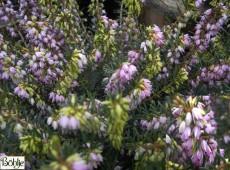 Erica darleyensis 'Darley Dale' -englische Heide-