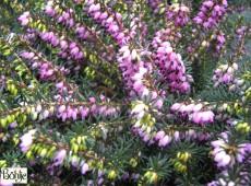 Erica darleyensis 'Kramer's Rote' -englische Heide-