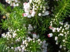 Erica vagans 'Alba' -Mittsommerheide / Cornwall-Heide-