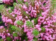 Erica vagans 'Red Delight' -Mittsommerheide / Cornwall-Heide-