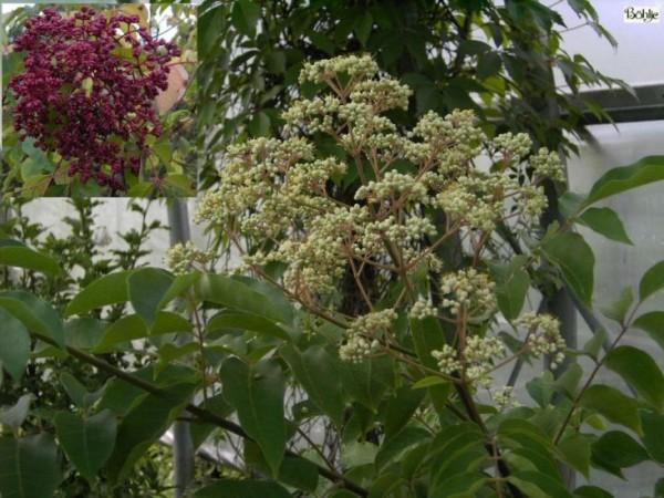 Euodia hupehensis (Tretradium daniellii var. hupehensis) -Bienenweide, Tausendblütenstrauch-