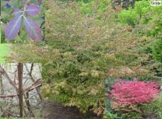 Euonymus alatus -Korkflügel / Spindelbaum-