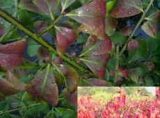 Euonymus alatus 'Compactus' -Korkflügel, Spindelbaum-