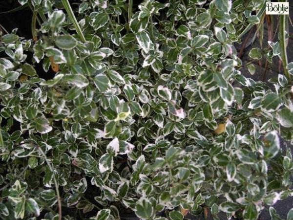 Euonymus fortunei 'Emerald Gaiety' -Pfaffenhütchen-