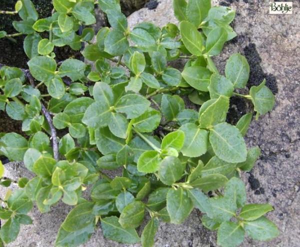 Euonymus fortunei 'Vegetus'