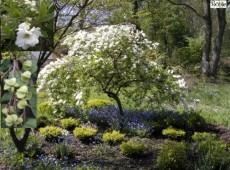 Exochorda macrantha 'The Bride' -Perlstrauch, Prunkspiere-