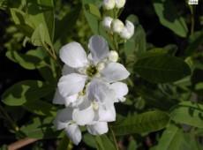 Exochorda racemosa -chinesiche Radspiere-