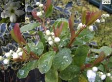 Exochorda serratifolia 'Snow White' -Perlstrauch, Prunkspiere-